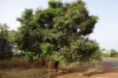 11-elfenbeinkueste-mangobaum