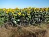 01_sonnenblumen-fahrraeder