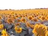 03_sonnenblumen-zeltplatz